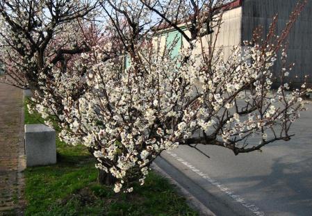 梅の木 と牛津街道 079