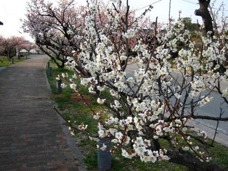 梅の木 と牛津街道 097