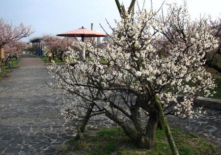 梅の木 と牛津街道 082