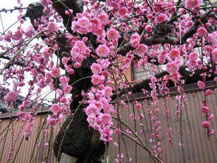 梅の木 と牛津街道 059