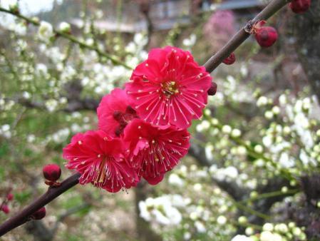梅の木 と牛津街道 054