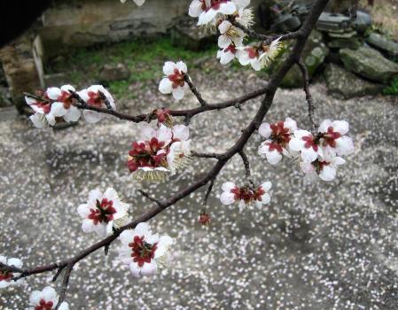 梅の木 と牛津街道 043