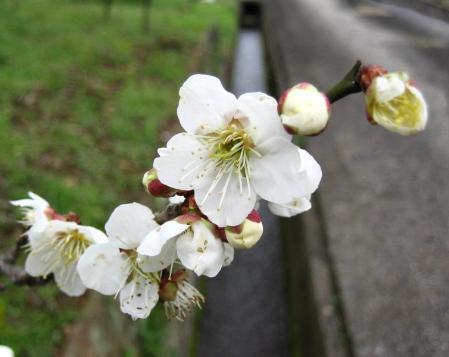 梅の木 と牛津街道 012