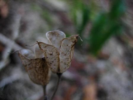 多良岳 マンサク 061