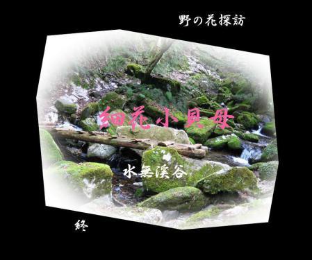 井原山ホソバナ 160
