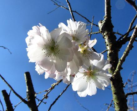10月桜 017