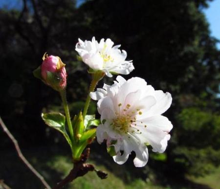 10月桜 014