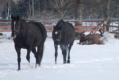 1・母・戻る馬雪浴びする馬