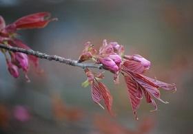 5・ハービン・桜のつぼみ