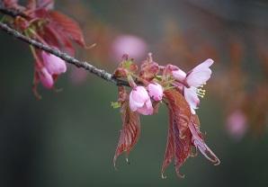 5・シャンティ・桜