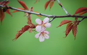 5・ハー・桜