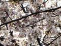 秋葉神社のソメイヨシノ・2011年その1