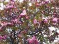 ハナミズキ《ピンク(ディープピンク)》・2011年その1