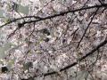 母校の小学校の外周のソメイヨシノ・2011年その1