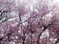 さくら公園の桜・2011その1