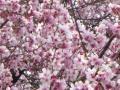 さくら公園の桜・2011その2