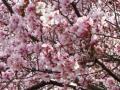 さくら公園の桜・2011その3