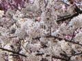 さくら公園のソメイヨシノ・2011その2