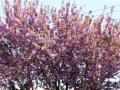 コピオ前の私道の八重桜・2011年その1