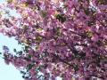 コピオ前の私道の八重桜・2011年その2