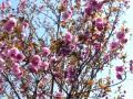 庭の八重桜・2011年その1