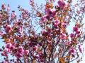 庭の八重桜・2011年その2