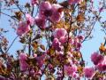 庭の八重桜・2011年その3