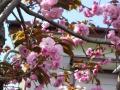 庭の八重桜・2011年その4