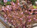 庭の八重桜・2011年その6