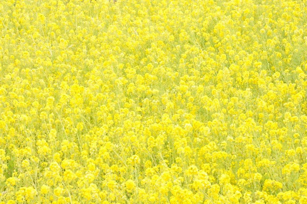 2011 菜の花