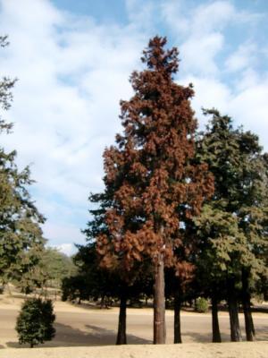 杉の木は花粉が・・・