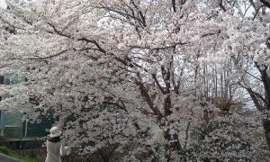 20110407sakura2
