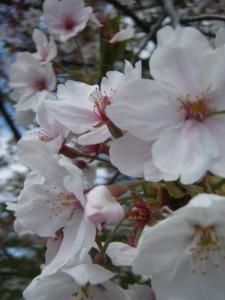 20110419sakura3