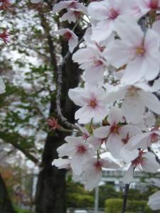 20110419sakura1