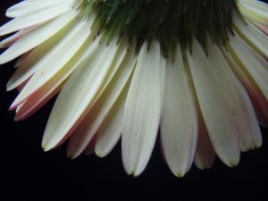 20110527ガーベラ2