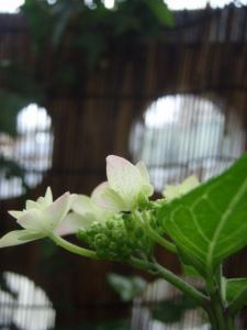 20110529紫陽花5