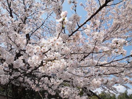 京都の桜(嵐山)1