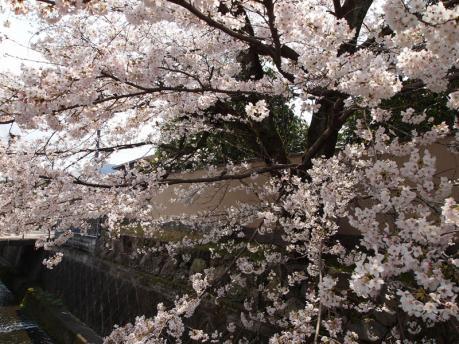 京都の桜(嵐山)2