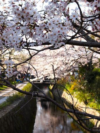 京都哲学の道の桜並木