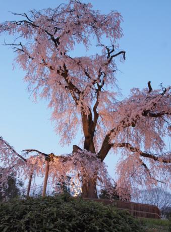 京都丸山公園の桜