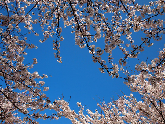 芦城公園桜 青とピンク