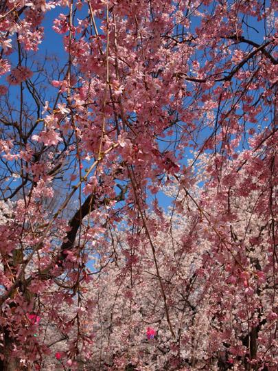 芦城公園桜 しだれ&ソメイヨシノ