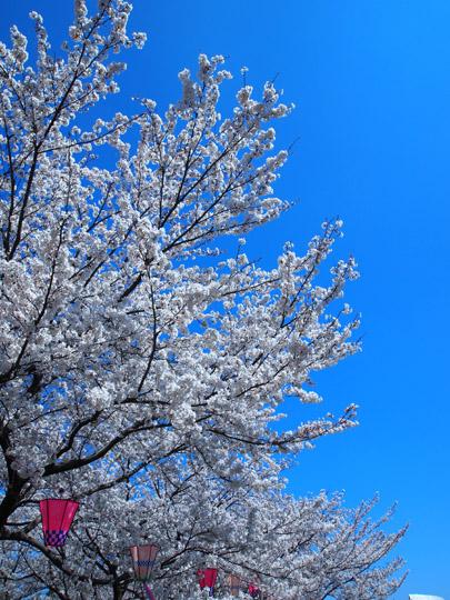 芦城公園桜 青とピンク2