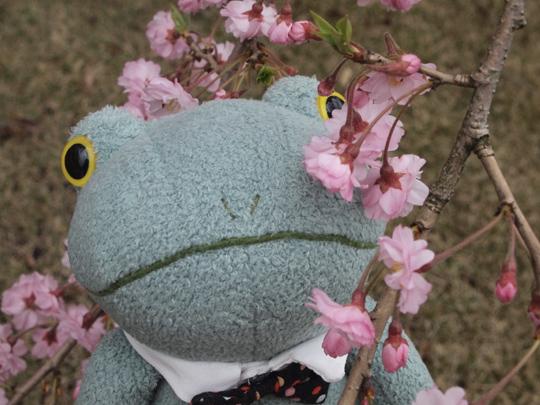 加賀市中央公園しだれ桜カエル君ピンナップ