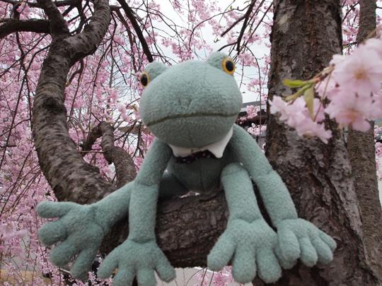 加賀市中央公園しだれ桜