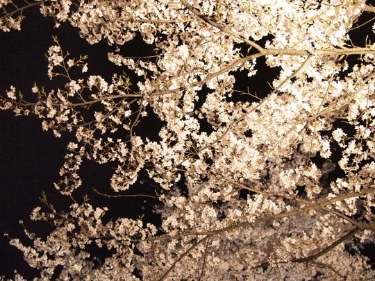 兼六園夜桜