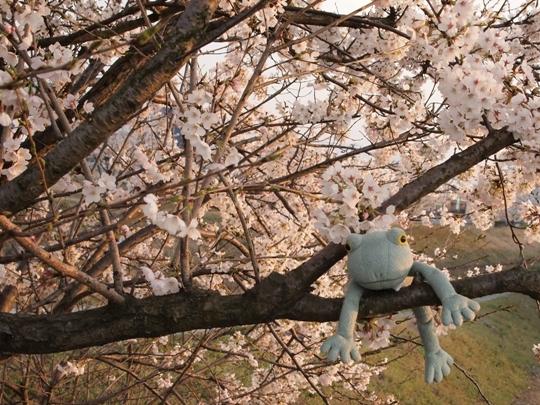 桜の下のカエル君