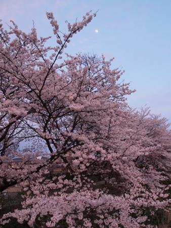 おぼろ月と桜