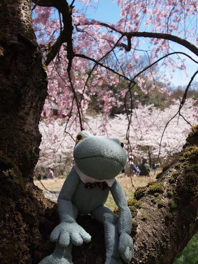 しだれ桜でひとやすみ