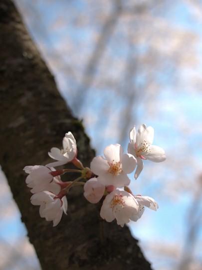 風にたゆとう桜
